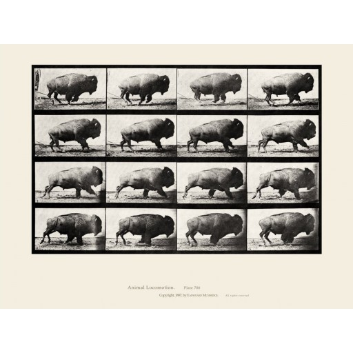 Eadweard Muybridge - Running Buffalo