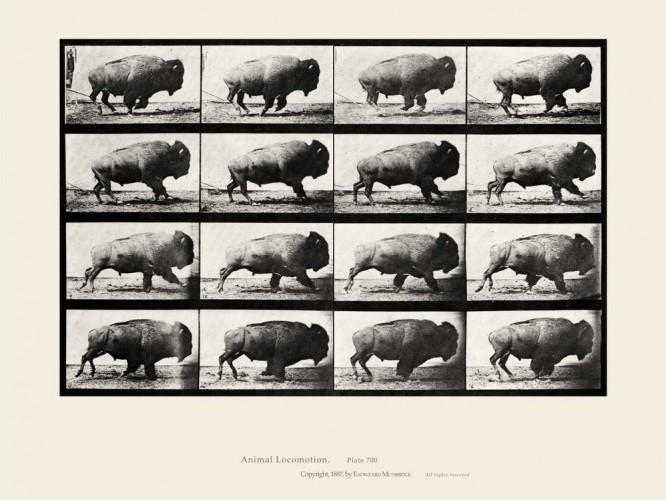 Eadweard Muybridge - Running Buffalo